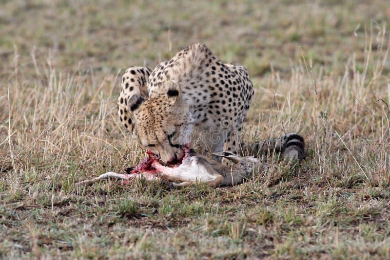убийство еды гепарда свежее стоковые изображения rf