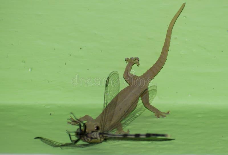 убийство звероловства еды dragonfly ящерицы заразительное на прожитии стены стоковая фотография