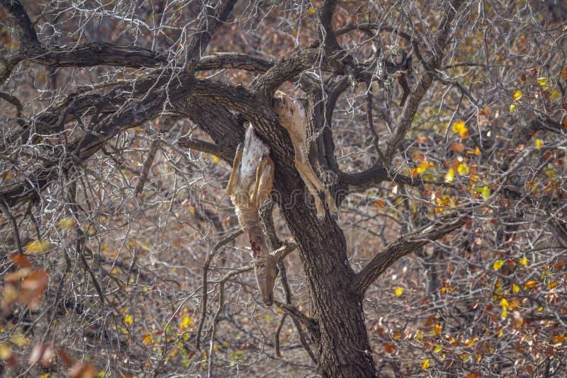 Убийство импалы леопардом в дереве в национальном парке Kruger, Южной Африке стоковые изображения