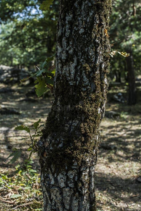 дуб стоковые фотографии rf