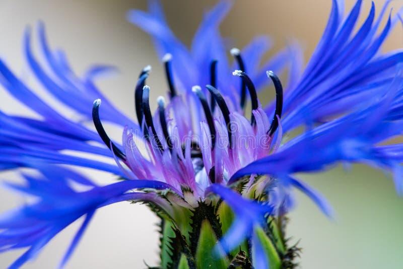 Увеличенный близко вверх цветка bluebonnet или мозоли стоковое фото rf