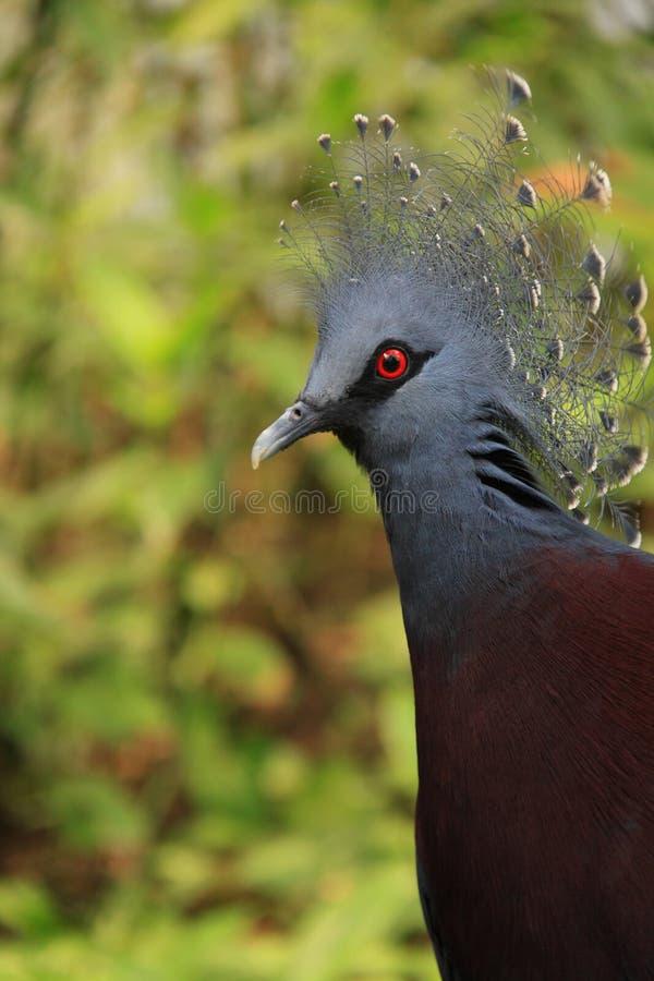 увенчанный вихрун victoria стоковая фотография rf