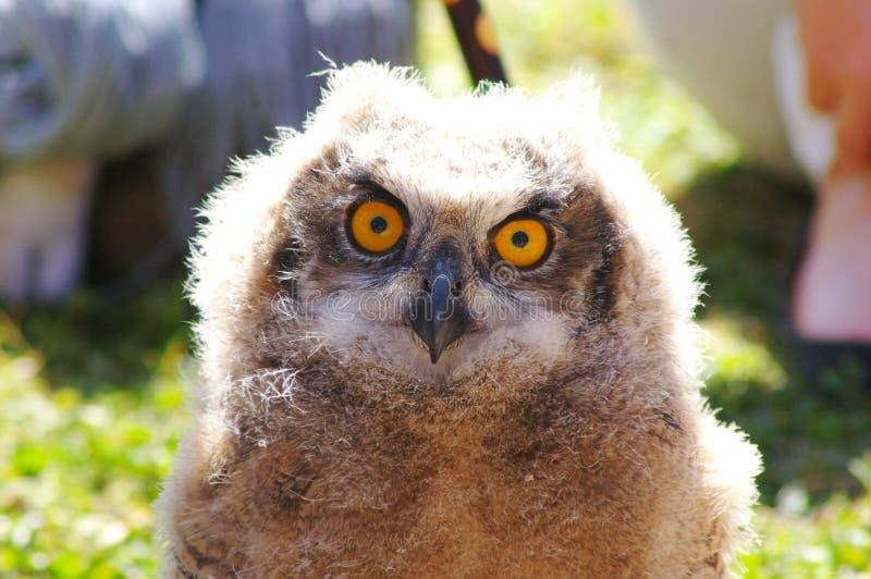 увиденное святилище prey сыча орла центра птицы ювенильное было стоковая фотография rf