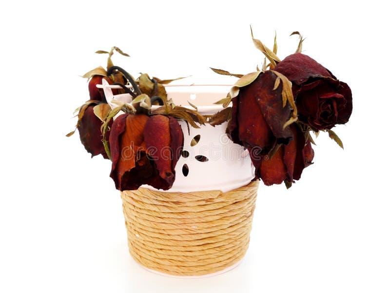 Увядает красная роза в розовом баке на изолированный стоковое фото