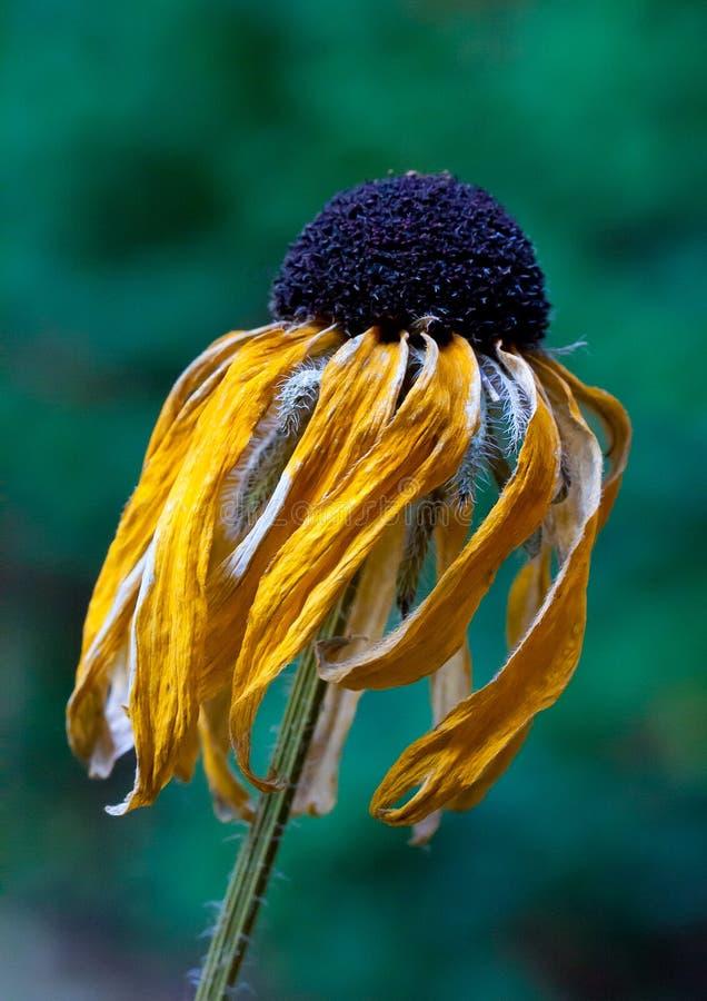 Увяданный желтый цветок стоковое фото rf