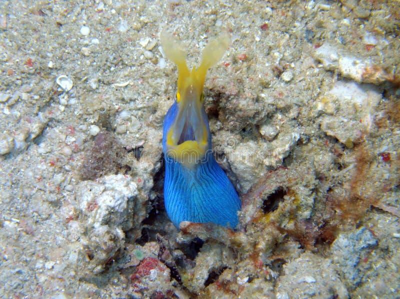 Угорь голубой ленты во время пикирования отдыха в острове Mabul, Semporna Tawau, Сабах Малайзия, Борнео стоковое изображение rf