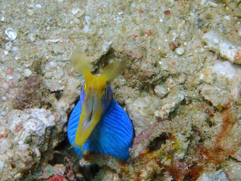 Угорь голубой ленты во время пикирования отдыха в острове Mabul, Semporna Tawau, Сабах Малайзия, Борнео стоковые изображения
