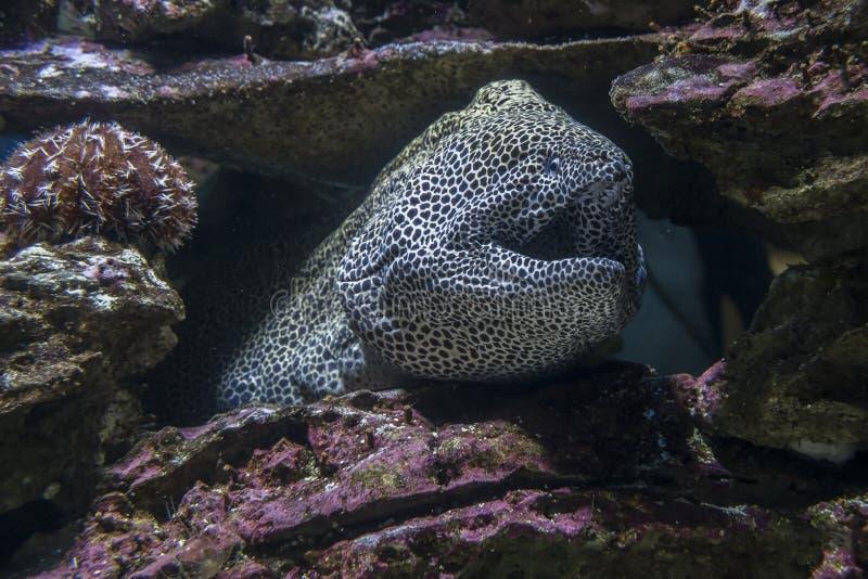 Угорь моря среди утесов под водой стоковые фотографии rf