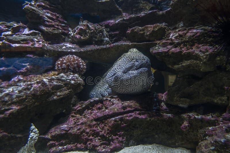 Угорь моря среди утесов под водой стоковая фотография rf