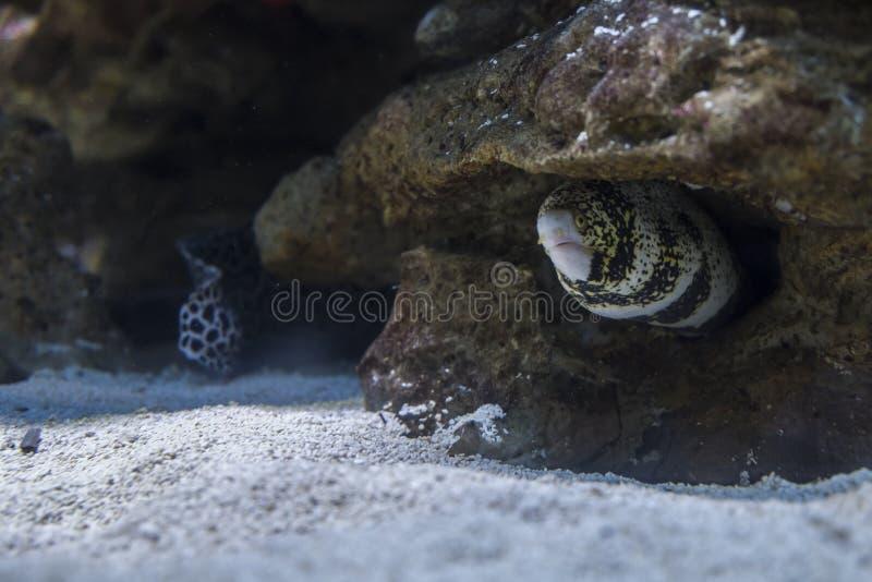 Угорь моря среди утесов под водой стоковые изображения