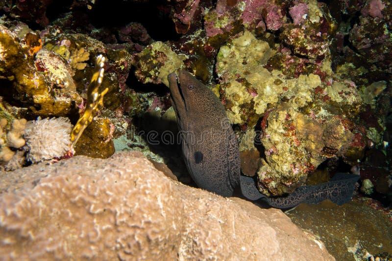 Угорь мурены в Красном Море стоковое фото
