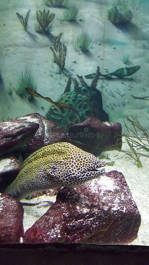 Угорь на аквариуме стоковые фотографии rf