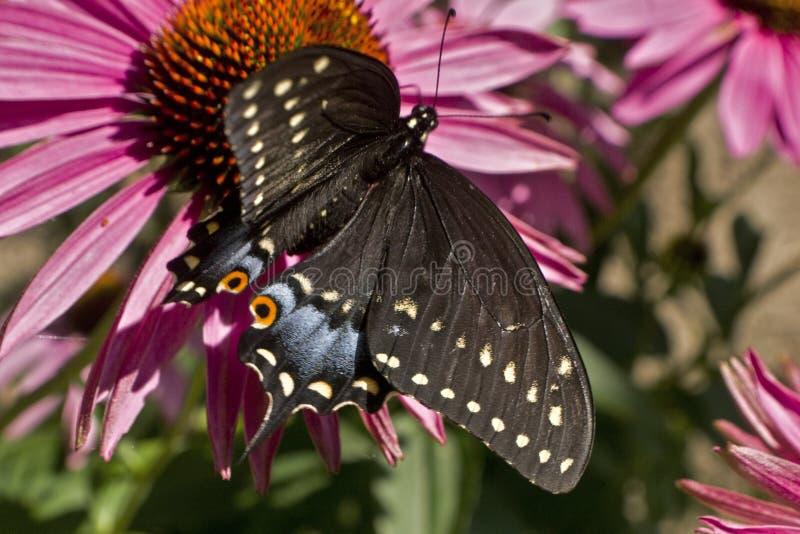 Угол бабочки Swallowtail высокий на цветке эхинацеи стоковая фотография rf