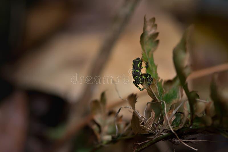Угрожаемая жаба арлекина льнет дальше стоковые фотографии rf