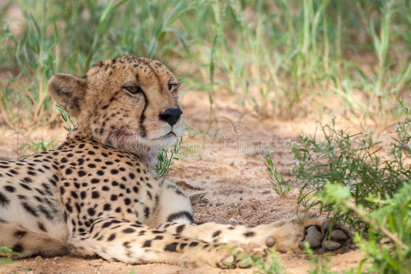 Угрожаемый гепард отдыхая в тени стоковые фотографии rf