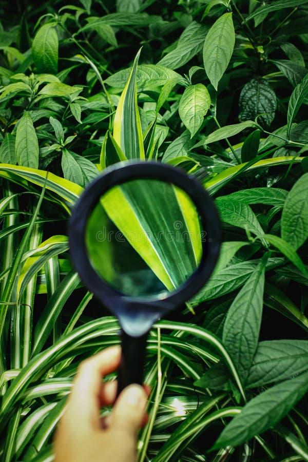 удерживание руки бинарного Кода рассматривая стеклянное увеличивая использующ Листья зеленого растения, взгляд через loupe стоковая фотография rf