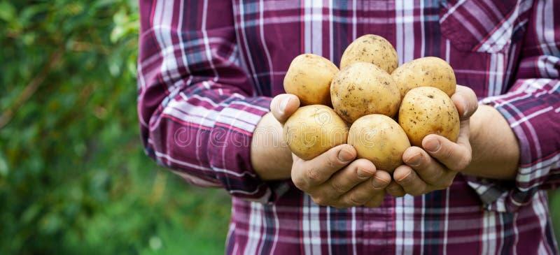Удерживание фермера в продуктах картошек рук на зеленой предпосылке природы Органический обрабатывать землю Формат знамени с косм стоковая фотография