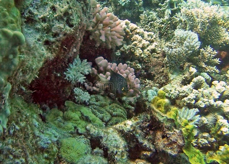 Удите на голове коралла на большом барьерном рифе стоковые фотографии rf