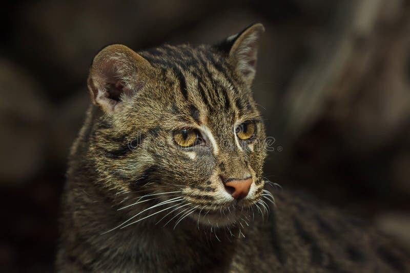 Удить viverrinus Prionailurus кота стоковая фотография rf