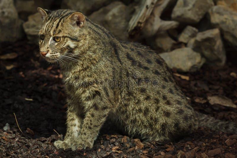 Удить viverrinus Prionailurus кота стоковое изображение rf