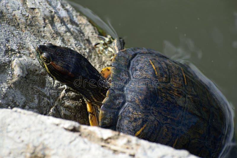 Уединенная водяная черепаха на озере стоковая фотография