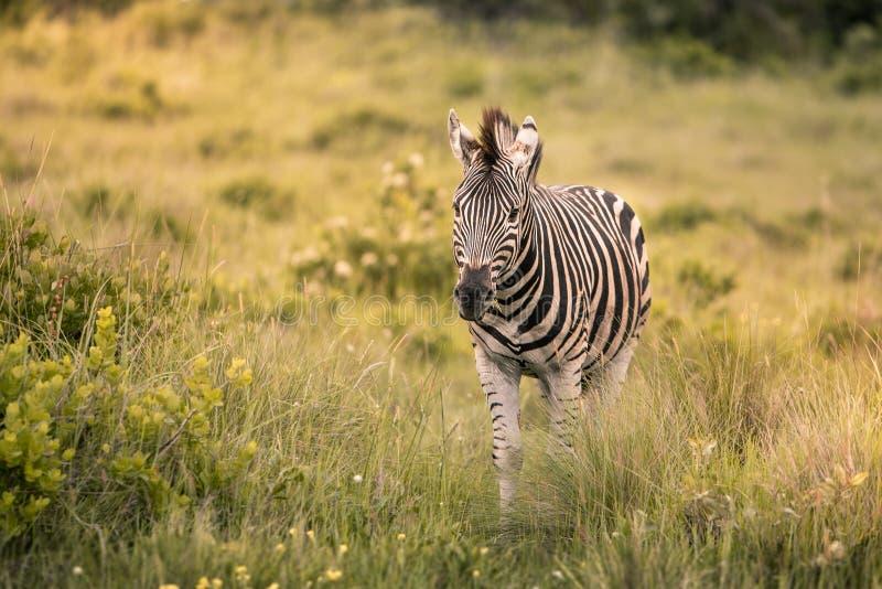 Уединенная зебра идет через высокорослую траву к стоковые изображения