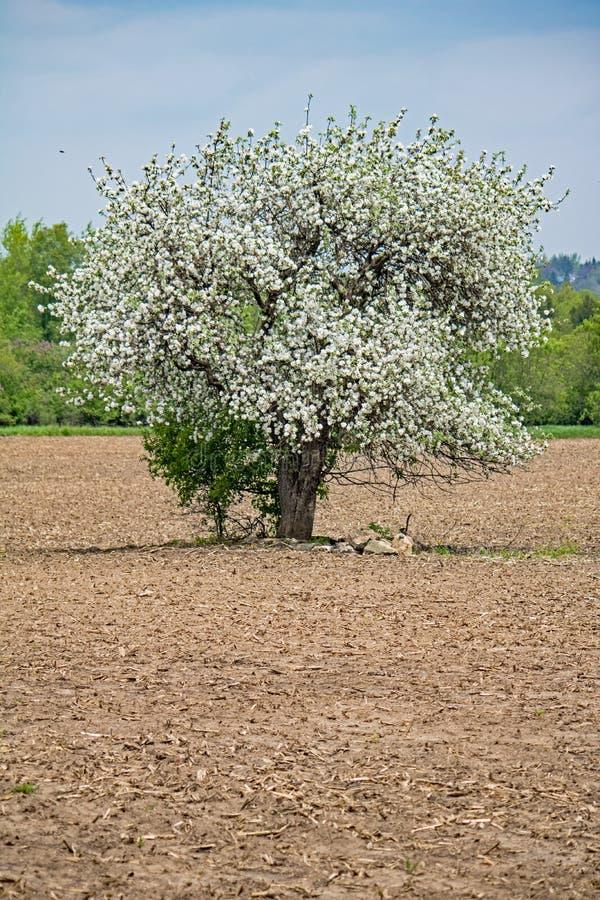 Уединенная полностью цвести яблоня в поле фермы стоковая фотография rf