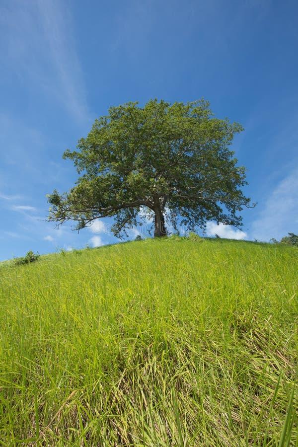 уединенное дерево стоковые изображения rf