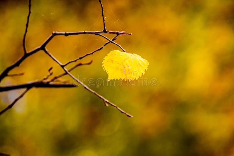 Уединенные желтые лист липы на дереве в autumn_ стоковое изображение