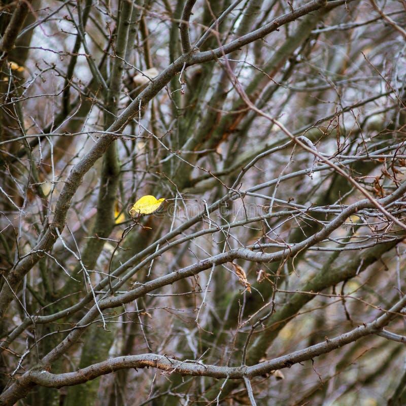 Уединенные желтые лист среди толстых ветвей в autumn_ стоковое фото