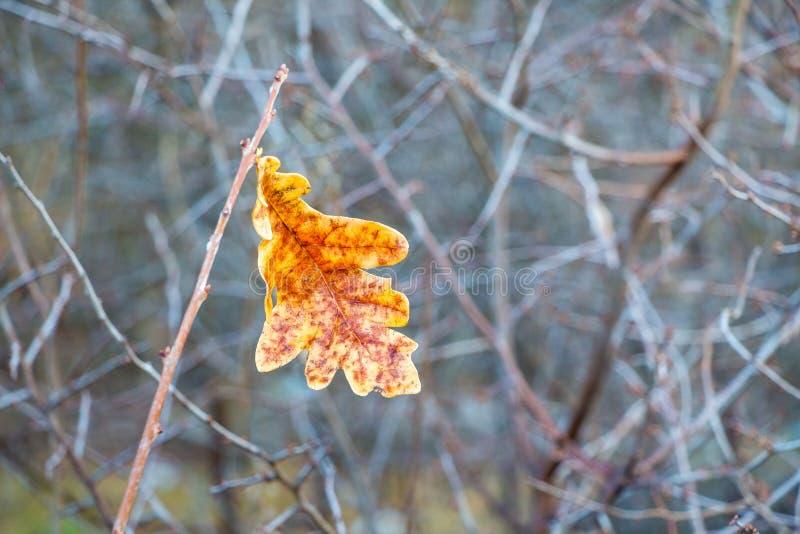 Уединенные оранжевые лист дуба на ветви дерева в autumn_ стоковое изображение rf