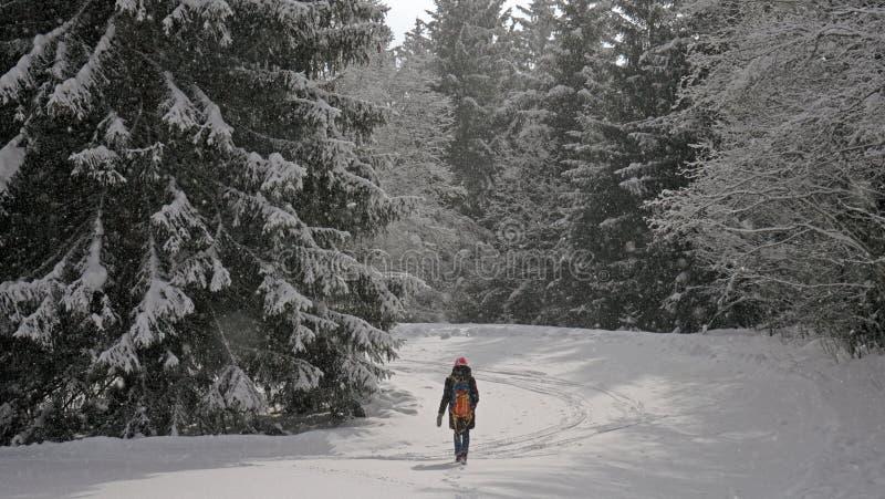 Уединенный женский hiker идет через лес покрытый снегом в высокогорном лесе в зиме стоковое фото rf