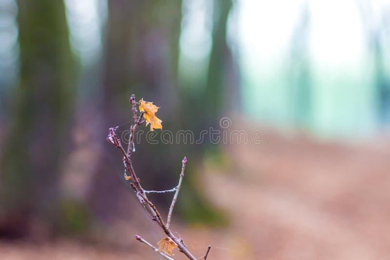 Уединенный кленовый лист осени на ветви дерева в woods_ стоковое фото