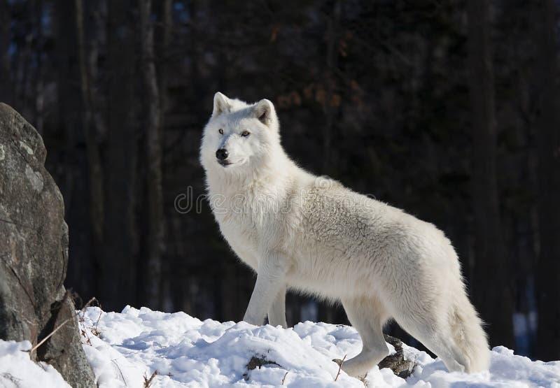 Уединенный ледовитый волк идя через снег в зиме в Канаде стоковое фото rf