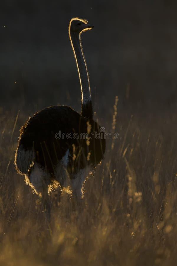 Уединенный мужской страус на заходе солнца с освещением оправы в траве стоковые фотографии rf