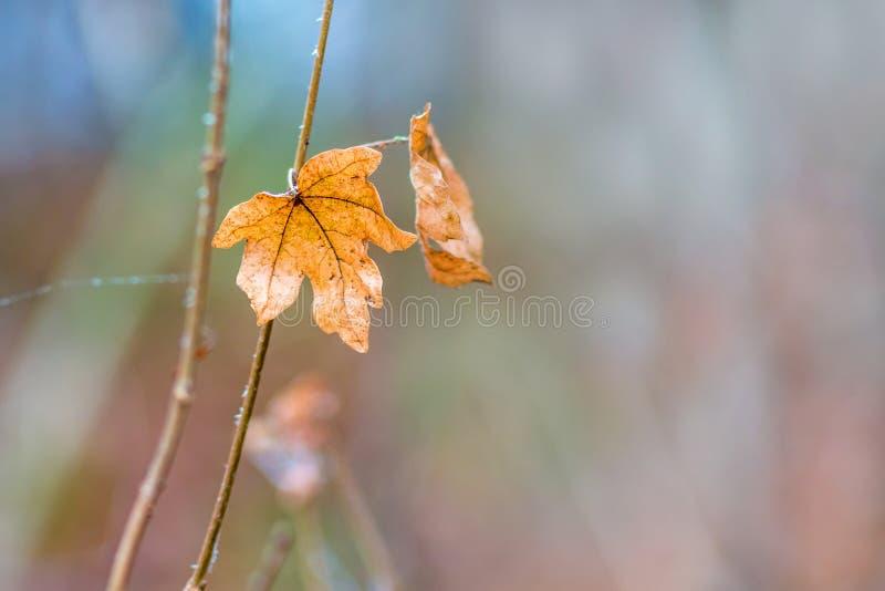 Уединенный оранжевый кленовый лист на расплывчатой предпосылке в woods_ стоковые фото