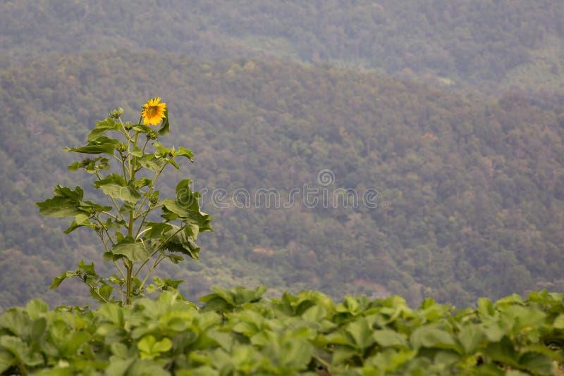 Уединенный солнцецвет в поле клубники стоковое фото rf