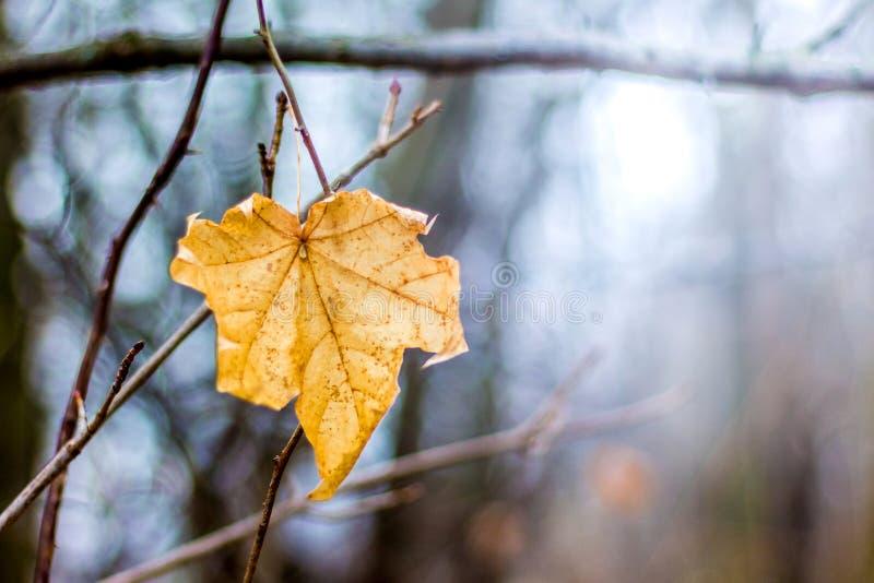 Уединенный сухой кленовый лист на дереве в лесе в fall_ стоковые изображения rf