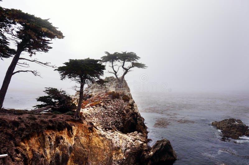 Уединенный Cypress Pebble Beach стоковое фото rf