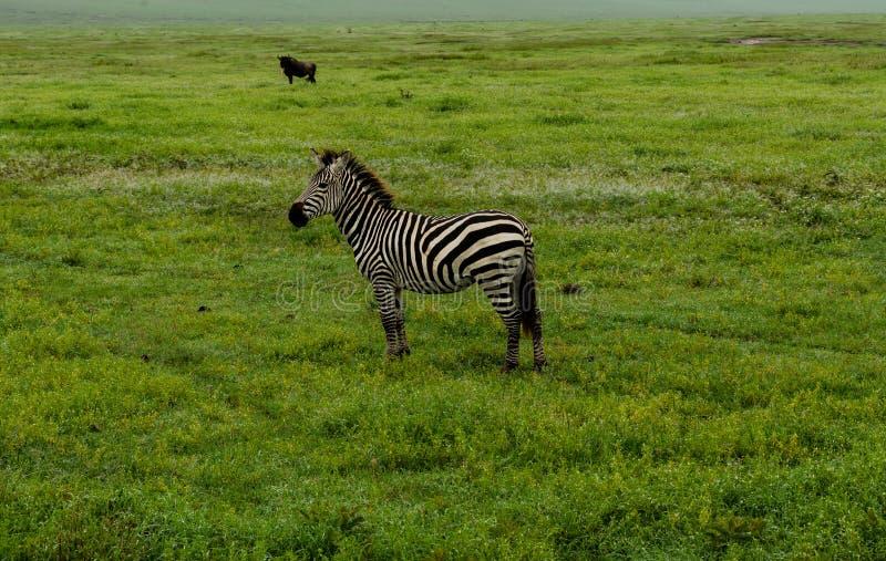 Уединённая зебра на саванне стоковые фотографии rf