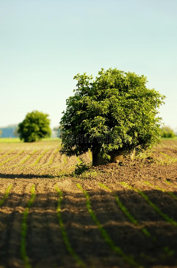 Уединённое дерево в поле стоковое изображение rf