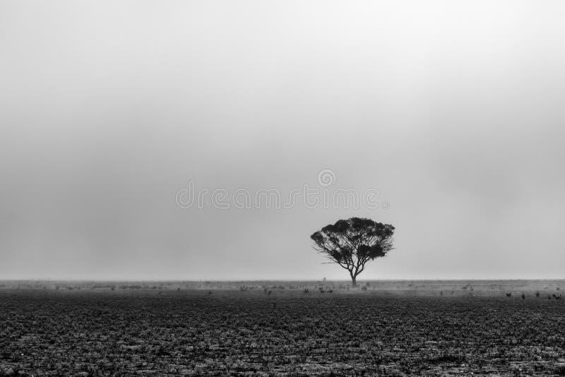 Уединённое дерево в пустыне в тумане утра стоковые фотографии rf
