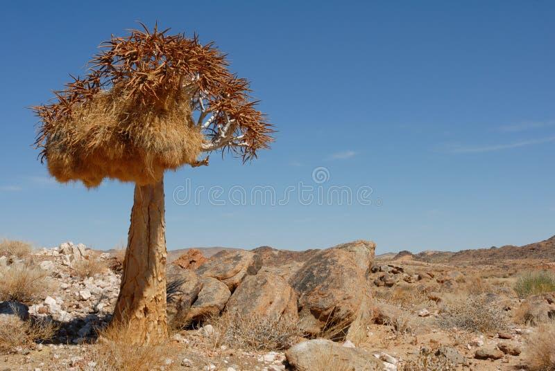 Уединённое дерево колчана с гнездом птицы в скалистом ландшафте и голубом африканском небе стоковое фото rf