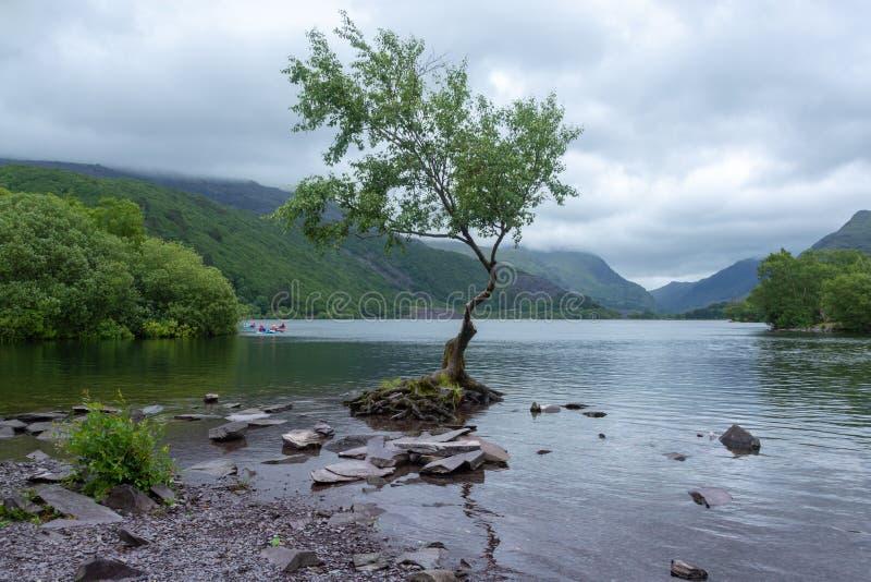 Уединённое дерево на озере Llanberis в национальном парке Snowdonia на день overcast стоковые фотографии rf
