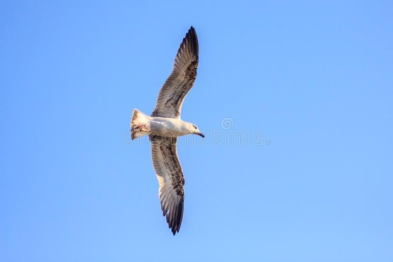 Уединённое серое летание чайки на крылах ясной предпосылки голубого неба распространяя Закройте вверх по взгляду стоковые изображения