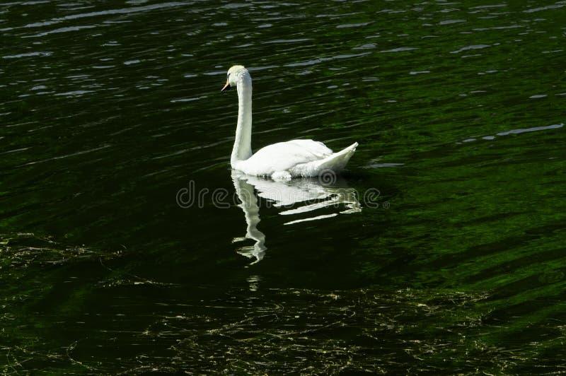 Уединённый лебедь плавая на реку стоковое изображение