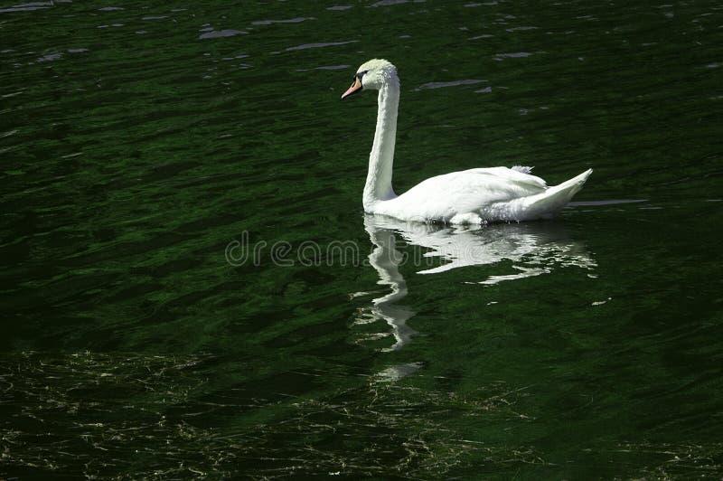 Уединённый лебедь плавая на реку стоковые фотографии rf