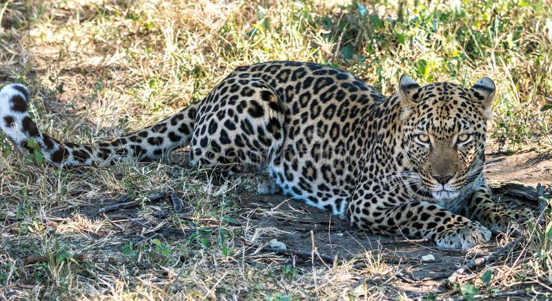 Уединённый леопард в африканском кусте стоковое изображение rf