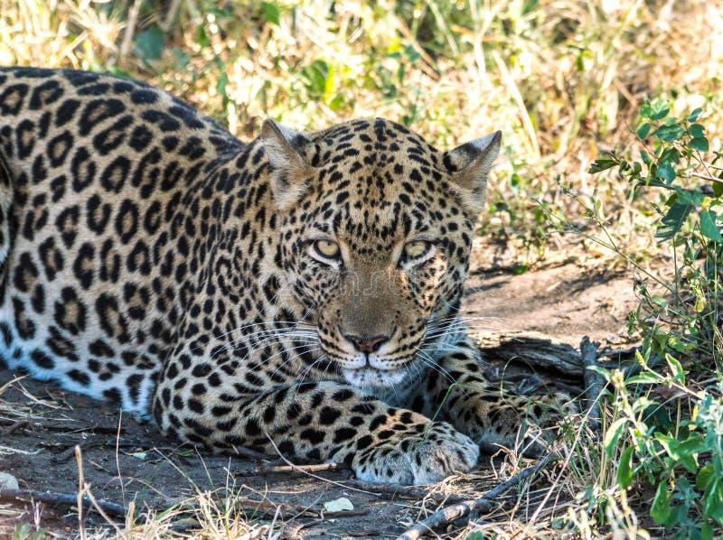 Уединённый леопард в африканском кусте стоковая фотография rf