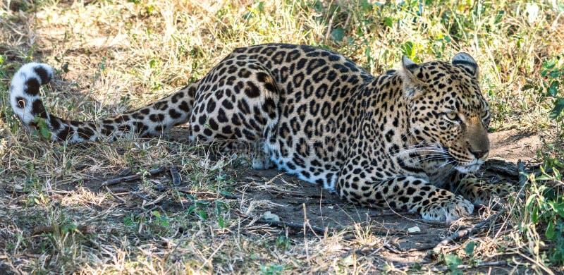 Уединённый леопард в африканском кусте стоковое изображение